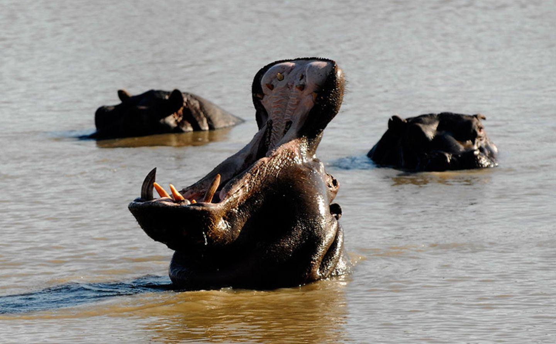 Tierlexikon: Das Flusspferd ist trotz seines Namens nicht mit dem Pferd verwandt