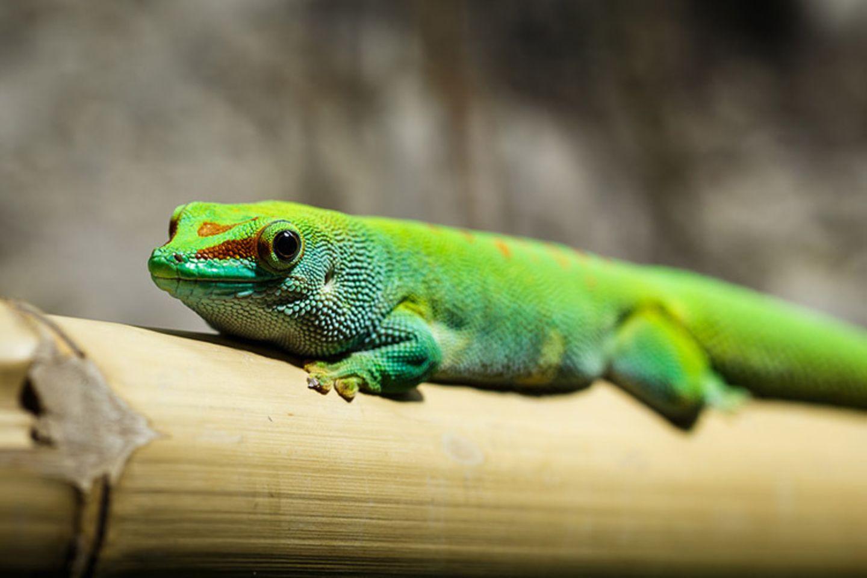 Tierlexikon: Der Gecko gehört zu den ältesten Tierarten der Welt