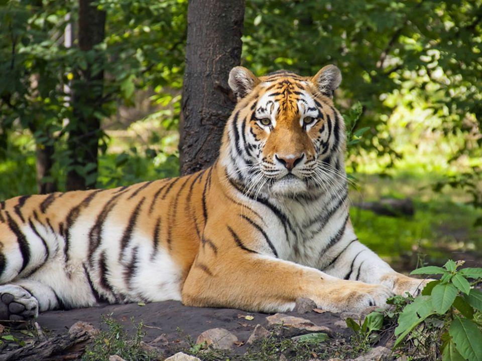 Tierlexikon: Der Königstiger wird auch Indischer Tiger genannt