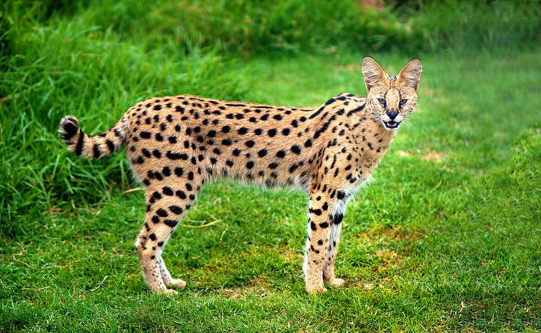 Tierlexikon: Der Serval lässt sich auch mit einer gewöhnlichen Hauskatze kreuzen