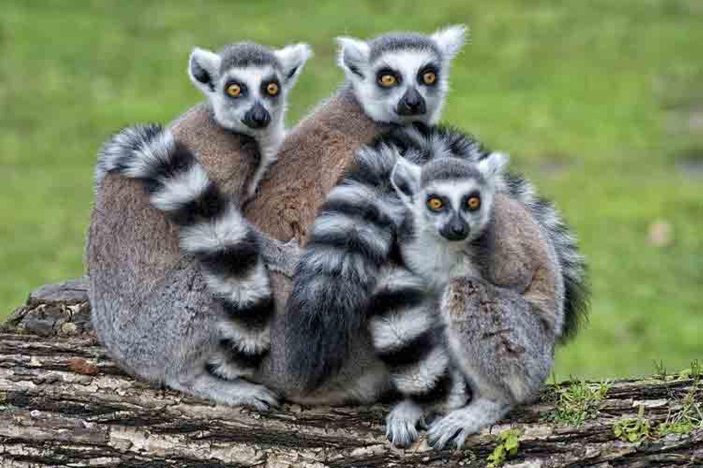 Tierlexikon: Kattas leben in freier Wildbahn nur auf Madagascar