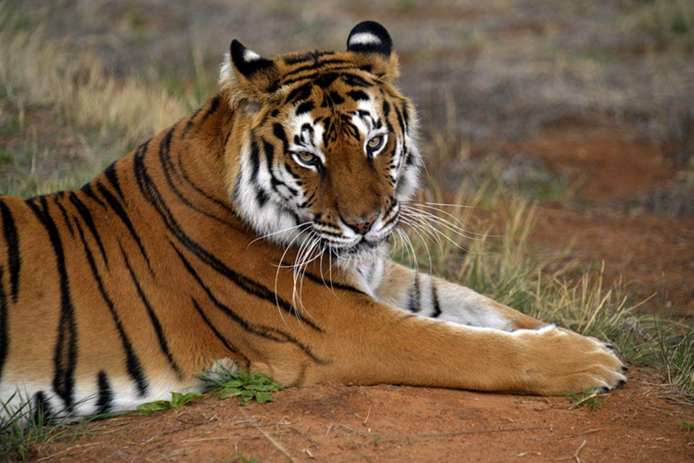 Tierlexikon: Der Sibirische Tiger ist die größte Katze der Welt!