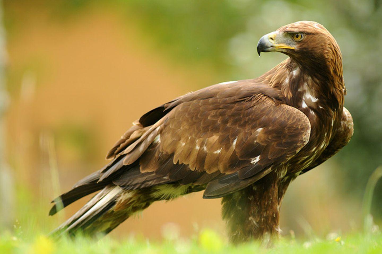 Tierlexikon: Der Steinadler wird auch König der Lüfte genannt