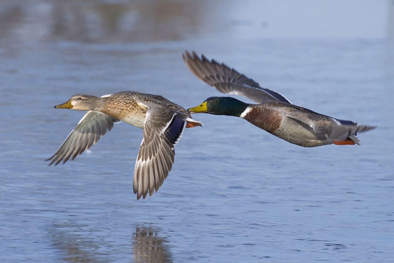 Tierlexikon: Stockenten gehören zu vielen deutschen Teichen und Seen