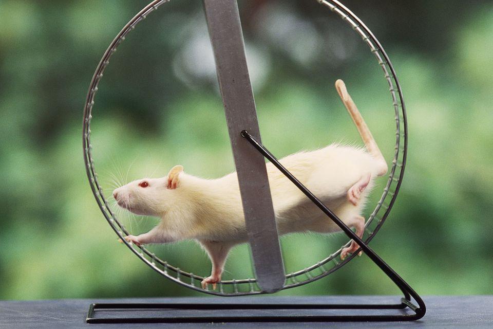 Kuriose Forschung: Nicht nur für Hamster