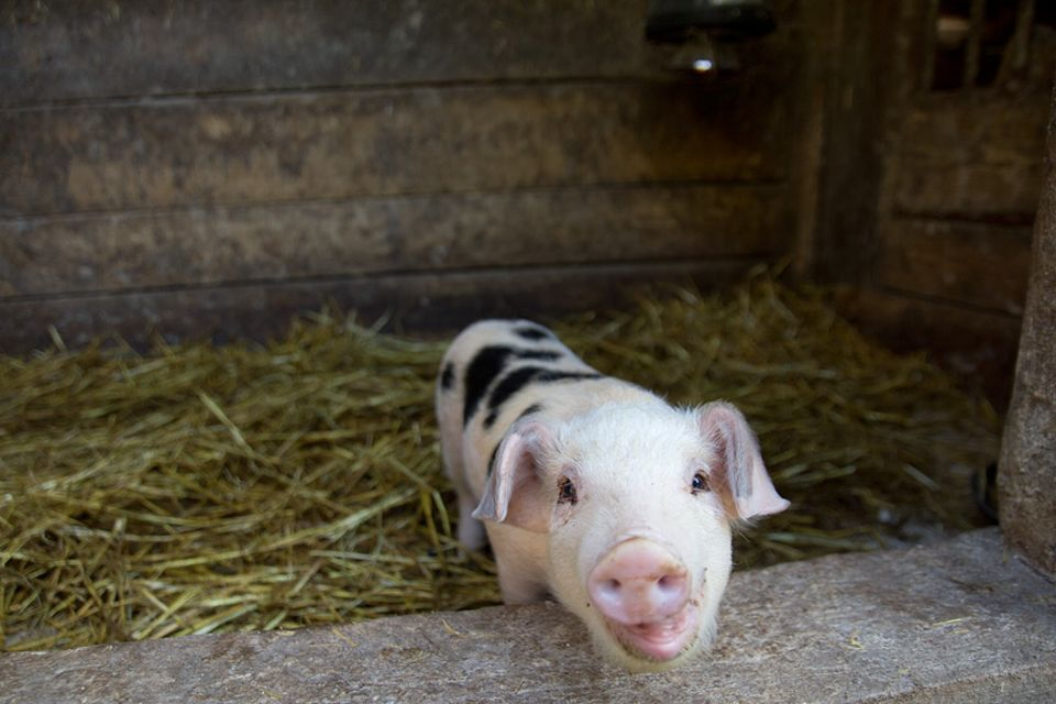 """Stellplatzführer """"Landvergnügen"""": Dieses Schweinchen erobert sofort alle Herzen im Handumdrehen"""