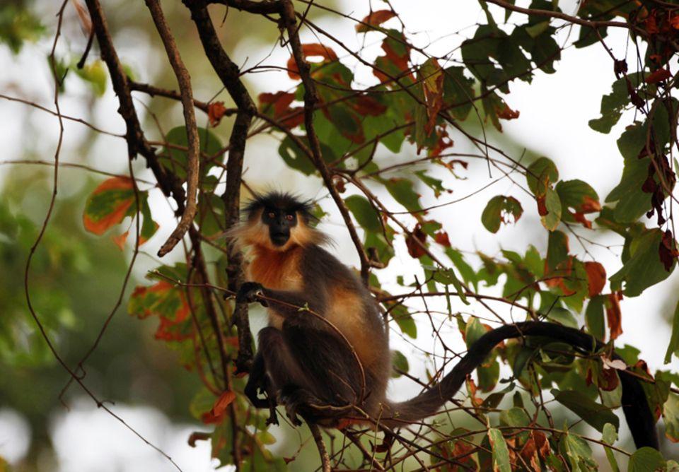 Indien: Kappenlanguren sind tagaktive Baumbewohner, deren Lebensraum durch Waldrodung stark gefährdet ist