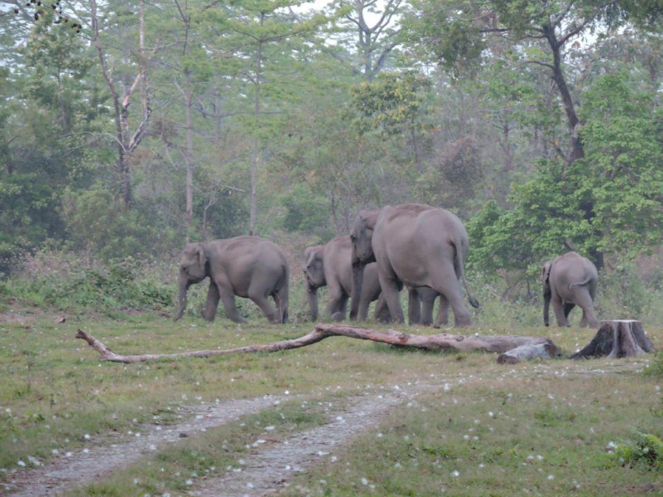 Indien: Elefanten in der Randzone des Manas Nationalparks