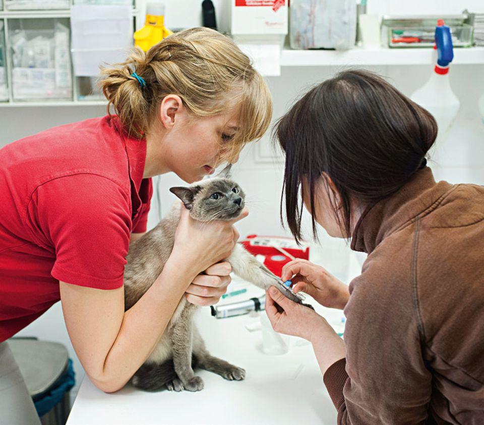Tierklinik: Insgesamt zwölf Tierärzte kümmern sich um die Patienten. Angela Herrmann nimmt Siamkatze Gina Blut ab.