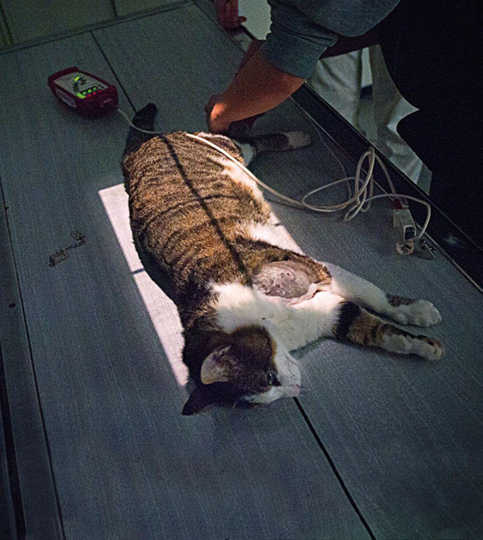 Tierklinik: Sie will sicherheitshalber ein Röntgenbild von seinem Schulterblatt machen – dazu muss Rudi stillhalten. Weil Katzen das nicht freiwillig tun, werden sie von den Tierärzten für manche Untersuchungen betäubt. Währenddessen überwacht ein Gerät an Rudis Schwanz den Herzschlag, auch beim Röntgen