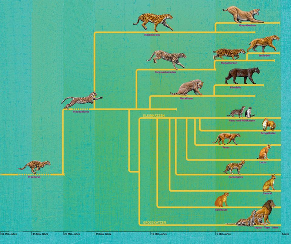 Evolution: Alle Katzenarten stammen von einem gemeinsamen Vorfahren ab