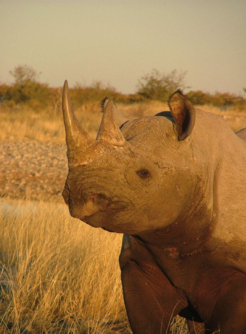 Nashörner: Das Problem der Wilderei gibt es schon lange: In den 1970er und 1980er Jahren war es besonders schlimm. Damals töteten Wilderer 98 Prozent der gesamten Population