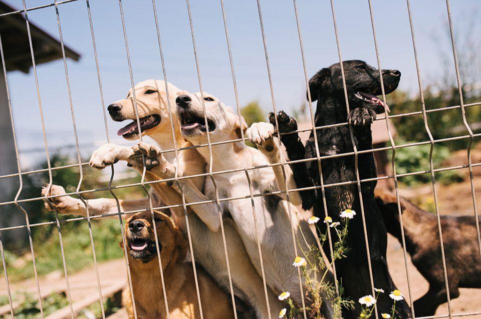 Rumänien: Das Tötungsgesetz wurde am 10. September 2013 erlassen und kostete schon mehreren zehntausend Straßenhunden das Leben