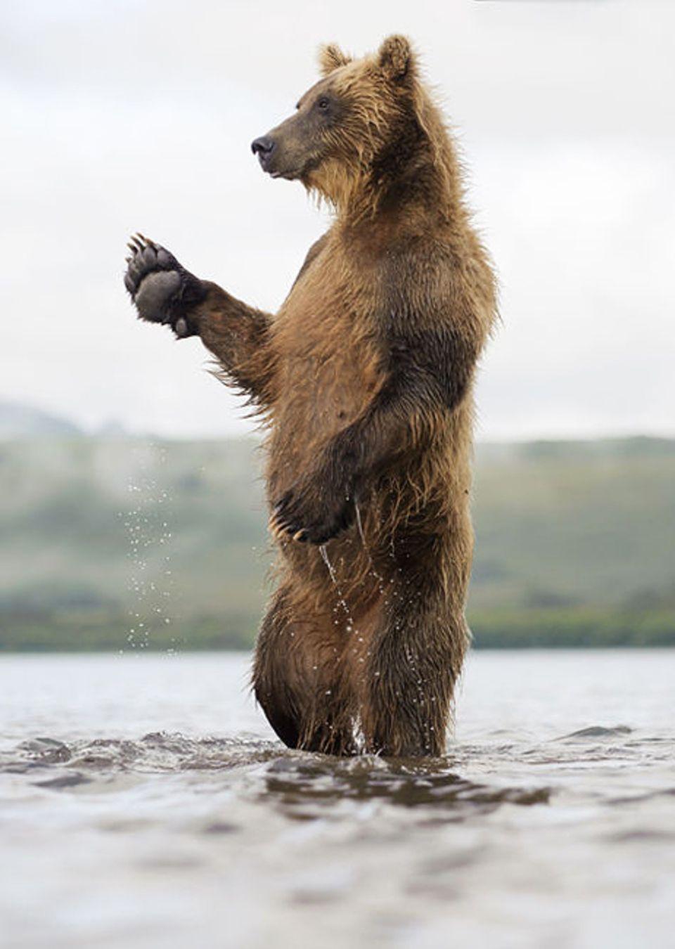 DVD: Der junge Braunbär ist zu unerfahren, um zu wissen, dass er vor der Winterruhe ausreichend essen muss. Er begibt sich in Lebensgefahr, wenn er zu früh seine Höhle verlässt
