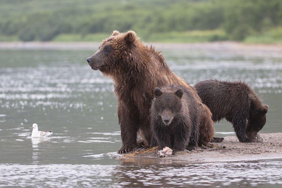 DVD: Der Nachwuchs muss noch viel lernen, bevor es für sie in wenigen Monaten allein durch die Waldlandschaft Russlands geht