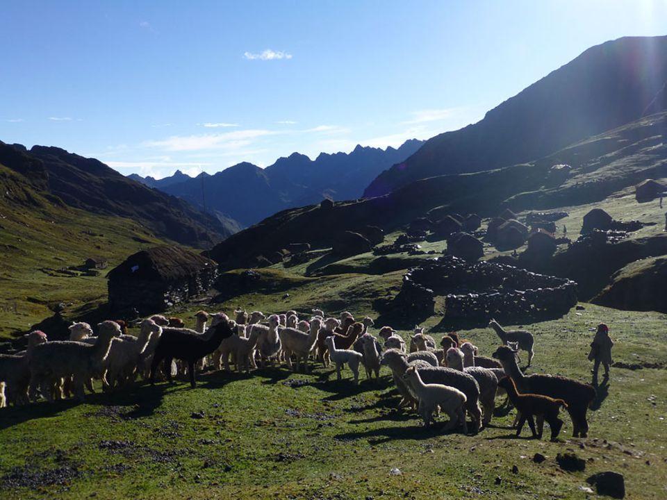 Alpakas sind den Lebensbedingungen in über 5000 Meter Höhe hervorragend angepasst. Ihre dichte Wolle wärmt im Winter und kühlt im Sommer