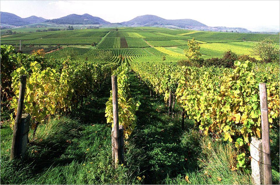 Südpfalz: Zwischen Arzheim und Ilbesheim säumen Hügel die Weinfelder