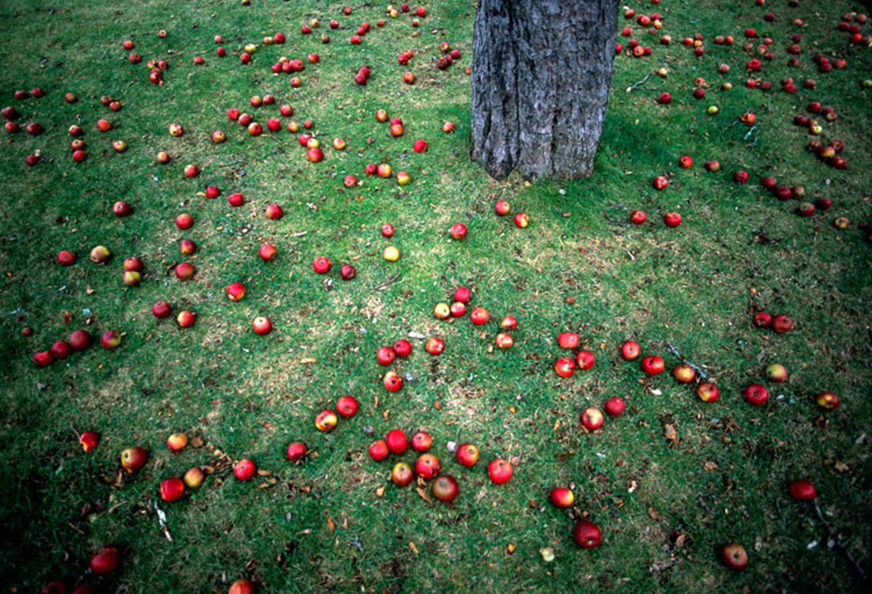 Redewendung: Fällt der Apfel nicht weit vom Stamm, sind Verwandte sich sehr ähnlich