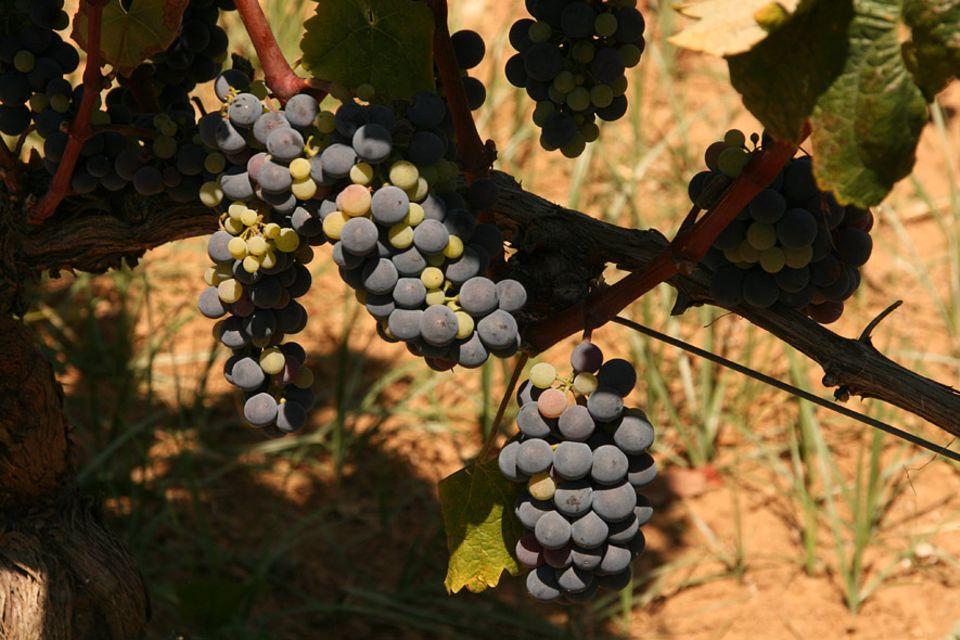 Die Weinlese an den Hängen des Olymp kann in etwa einer Woche beginnen. Die Trauben sind fast reif