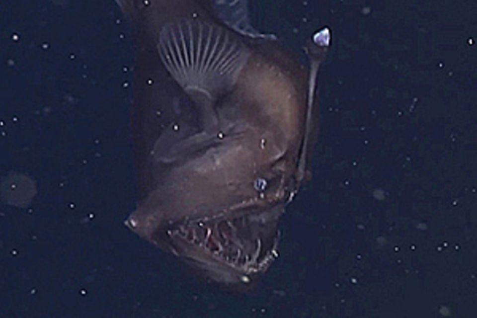 Anglerfisch: Forscher filmen erstmals Tiefseeteufel