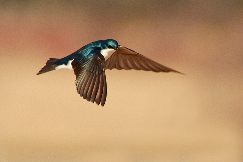 Redewendung: Schwalben sind Zugvögel und kehren im Frühling zu uns zurück