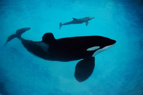 "Sprachbegabte Wale: Orcas können ""Delfinisch"" lernen"