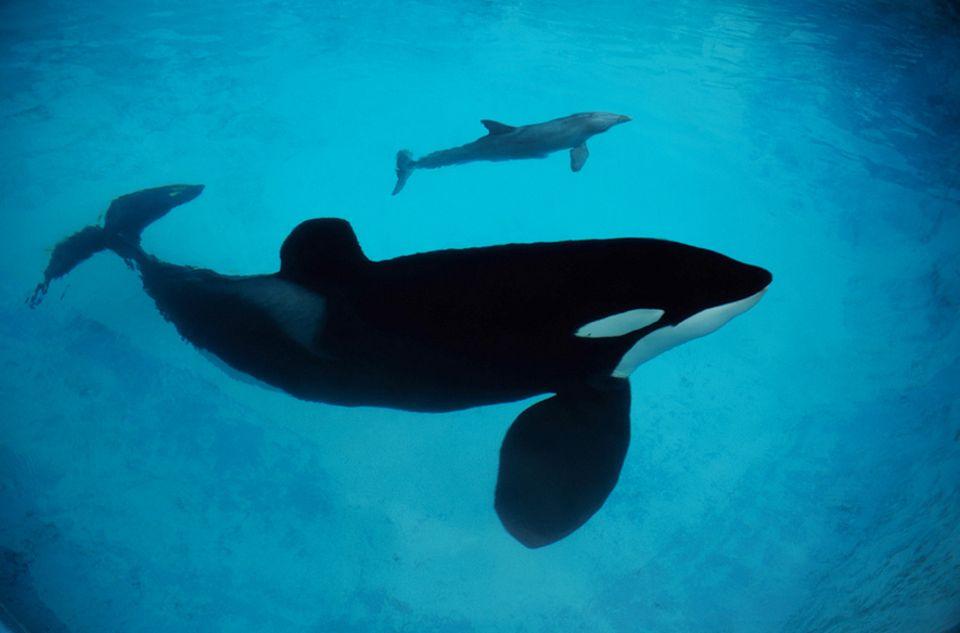 Sprachbegabte Wale: Treffen unter Sprachgenossen: Schwertwale übernehmen Delfinlaute