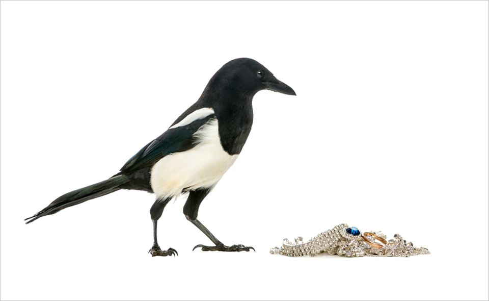 Vögel: Elstern versuchen glitzernde Objekte aus der Welt zu schaffen