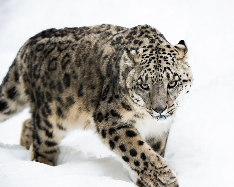 Tierlexikon: Schneeleoparden sind die am stärksten bedrohten Großkatzen weltweit