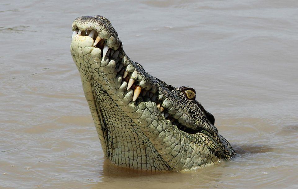"""Northern Territory: Agil und stark: Brutus ist mit seinen 80 Jahren noch immer der Star unter den """"Jumping Crocs"""" im Adelaide River"""