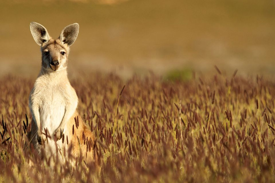 Australien: Kängurus sind nicht immer gehüpft