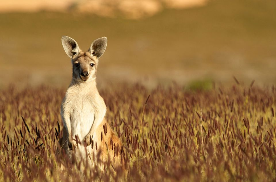 Australien: Eher hopsend unterwegs: Kängurus im australischen Outback