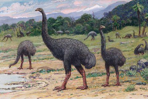 Mensch gegen Moa: Riesenvogel in nur 120 Jahren ausgelöscht