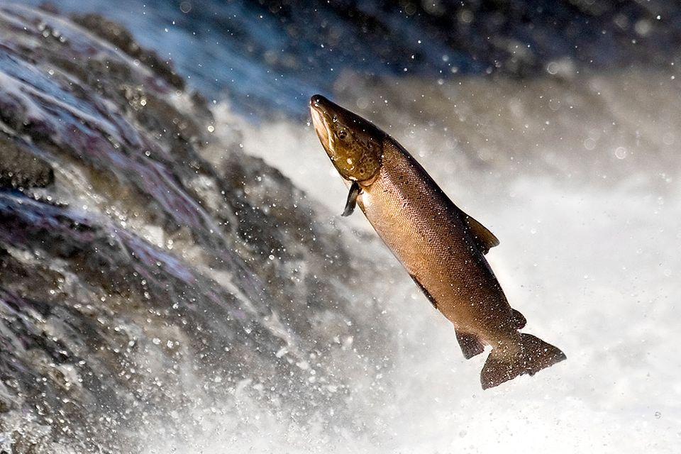 Fischtreppe 2.0: US-Firma entwickelt Lachskanone