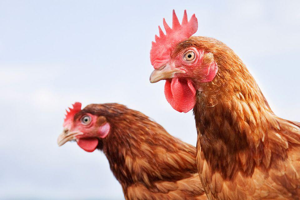 Endlich verstehen: Darum nicken Hühner beim Laufen ständig mit dem Kopf