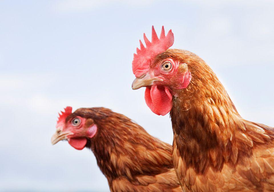 Endlich verstehen: Die Pupillen von Hühnern sind deutlich unbeweglicher als die des Menschen