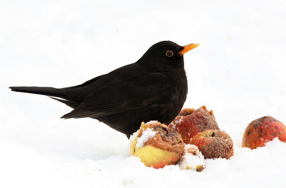 Die Stunde der Wintervögel: Wer kennt sie nicht, die schwarzen Amselmännchen mit gelbem Schnabel?