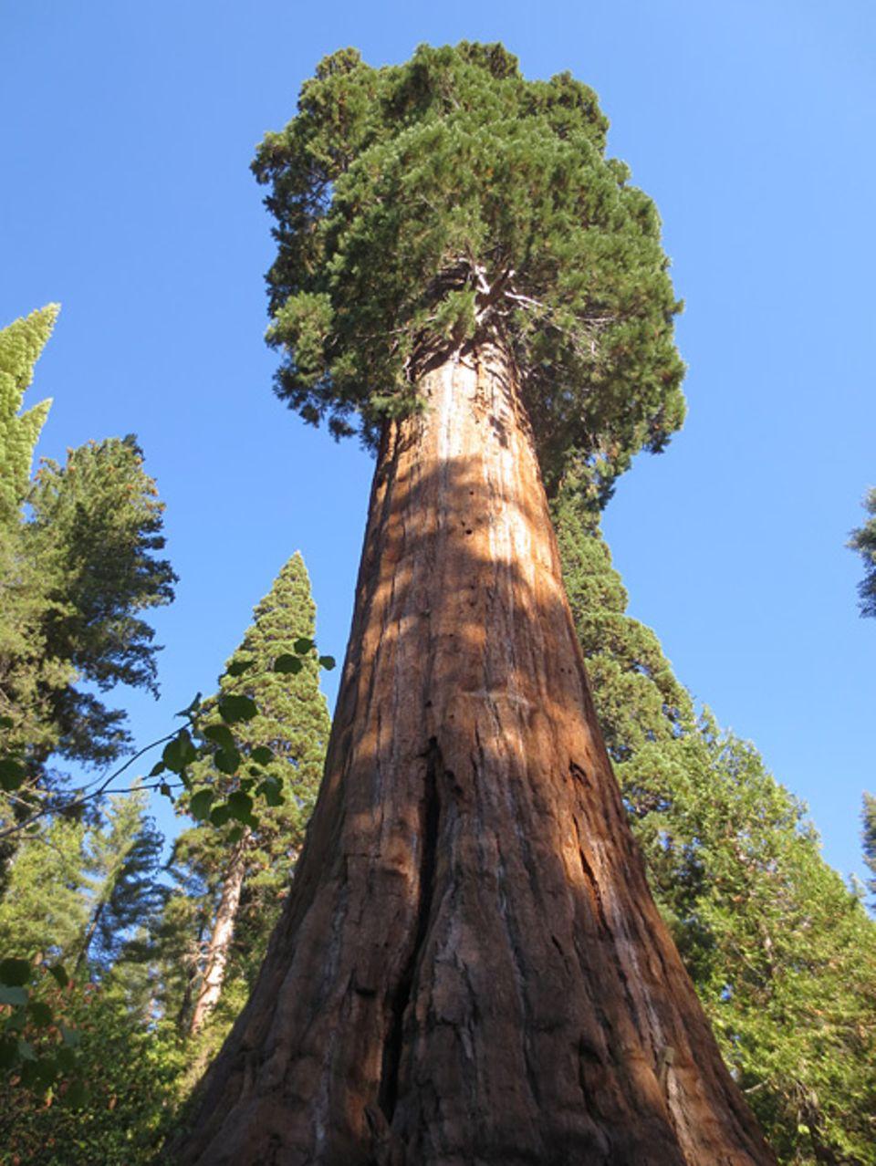 Ihren Namen haben die Redwoods, Rothölzer, von der roten Farbe ihres Stammes. An der Pazifikküste im Norden Kaliforniens und im Süden Oregons wachsen sie auf nur schmalen Landstrichen