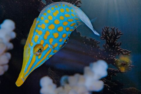 Chemische Tarnung: Dieser Fisch riecht nach Koralle