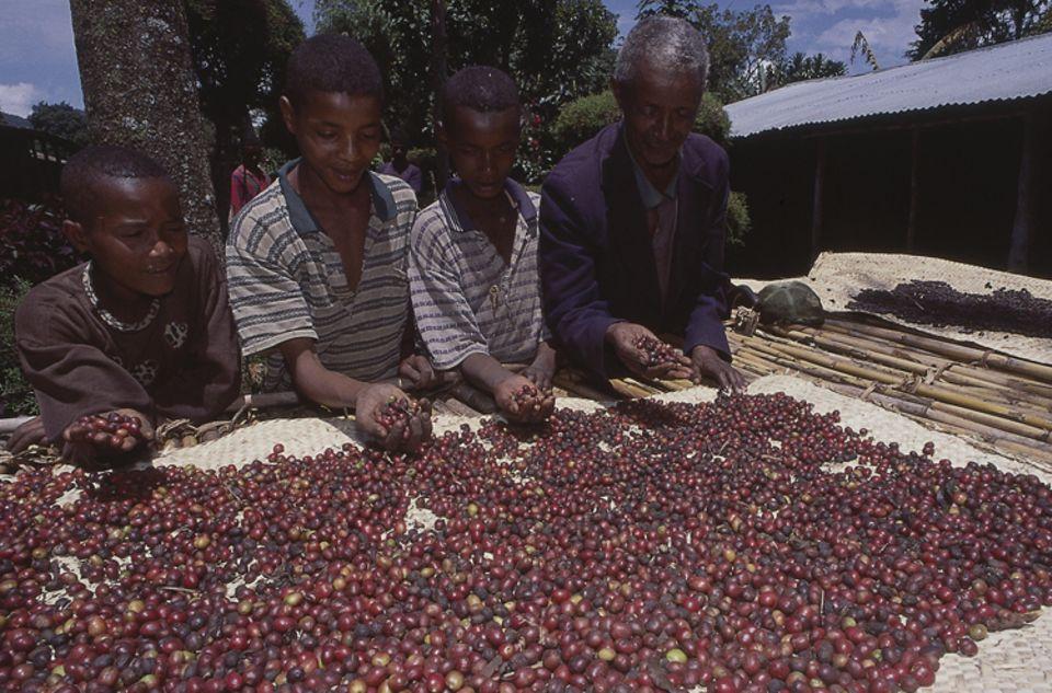 Äthiopien: Auf langen Tischen werden Kaffeekirschen zur Trocknung ausgebreitet