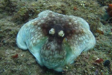 Tarnung: Video: Wo versteckt sich der Oktopus?