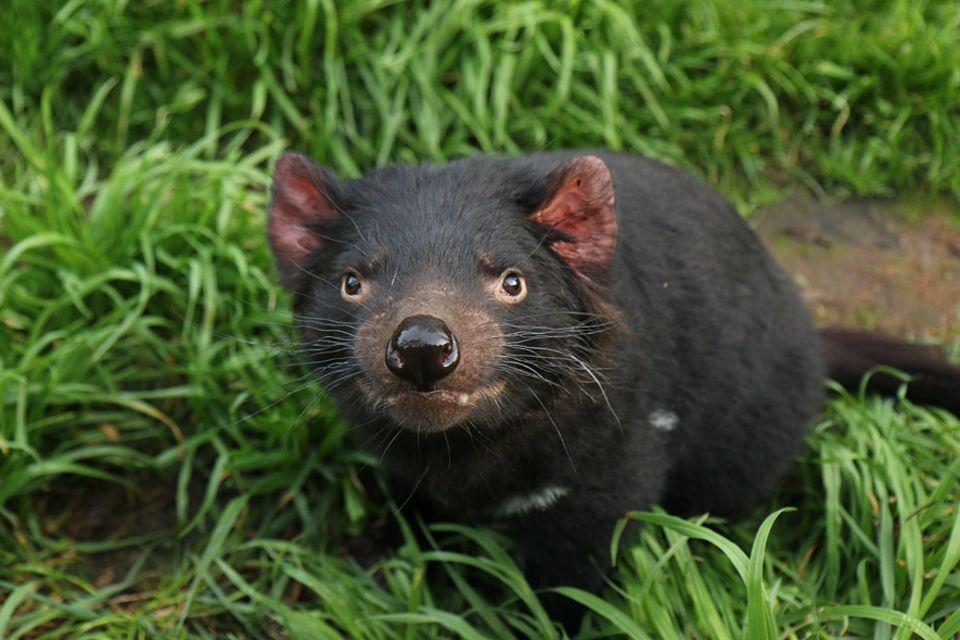 Tasmanische Teufel galten lange als nutzlose Störenfriede und wurden vielerorts rücksichtslos getötet