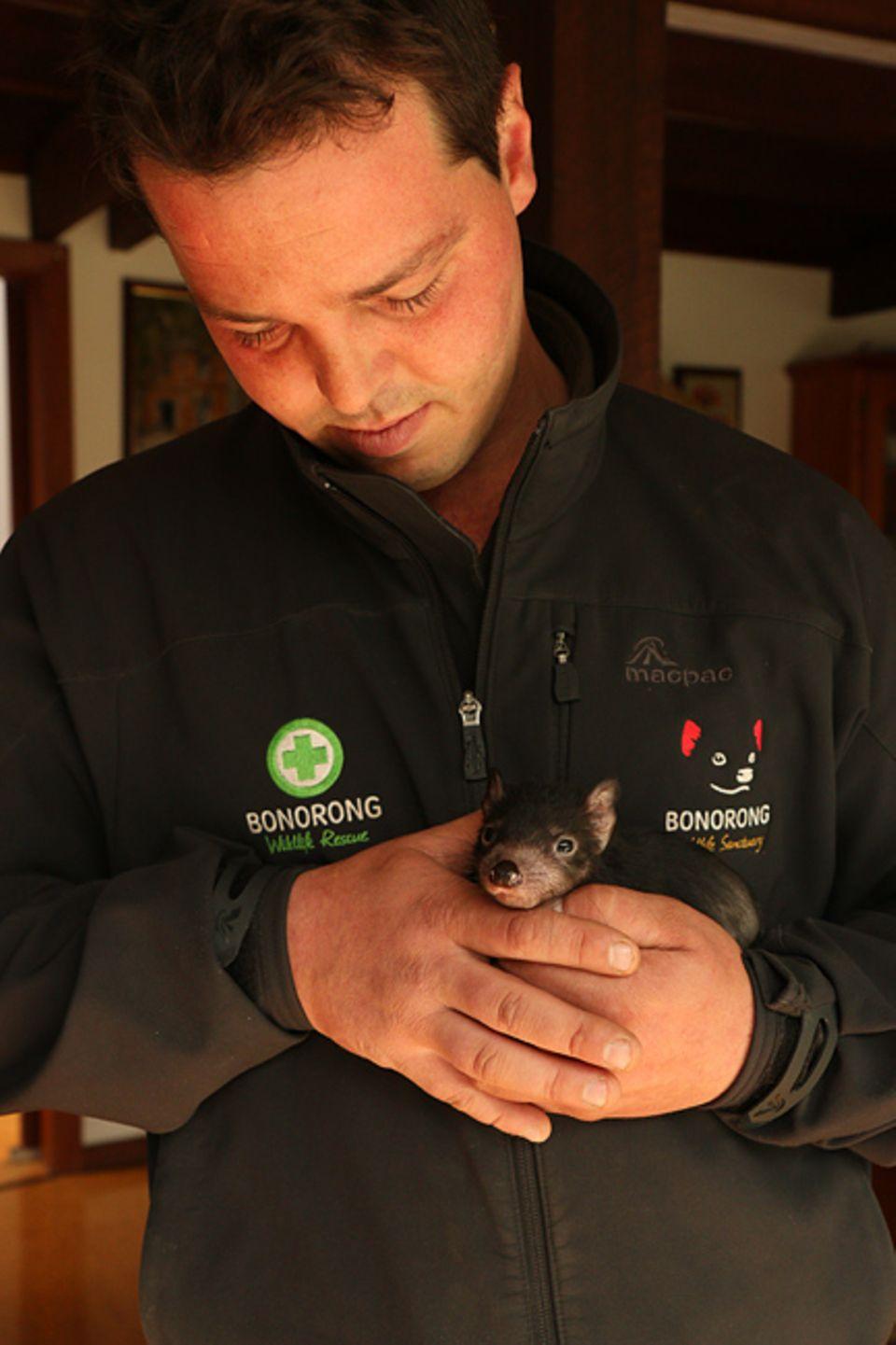 Greg ist der jüngste Tierparkdirektor Australiens und leitet noch dazu ein Forschungsprojekt im einzigen Gebiet Tasmaniens, in dem noch gesunde Teufel leben