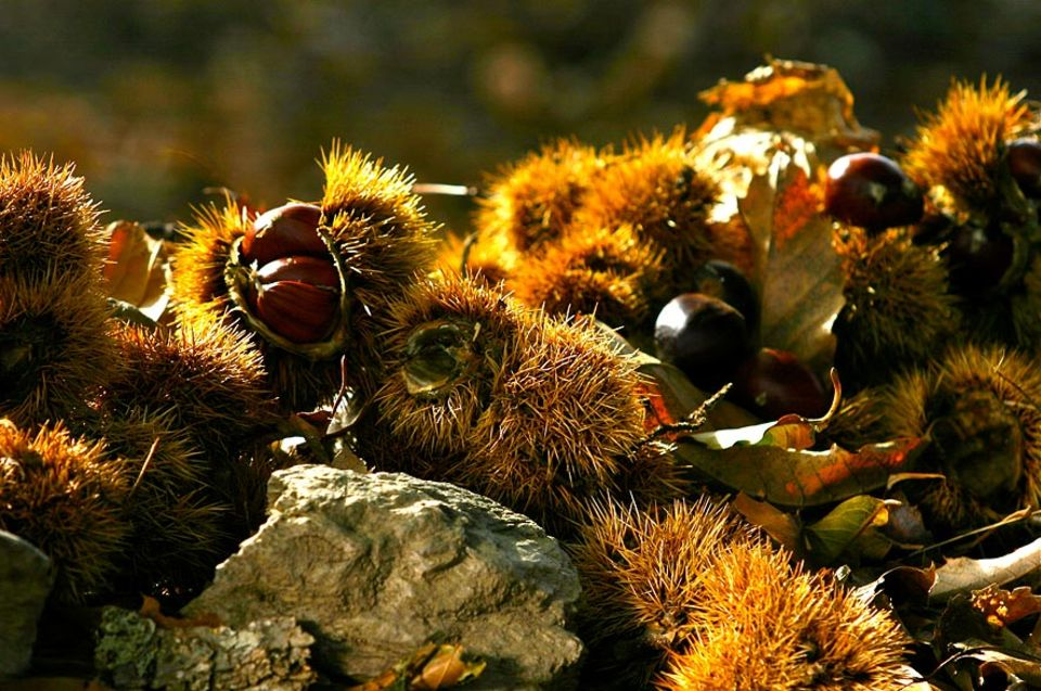 Im Herbst ist Kastanien-Erntezeit