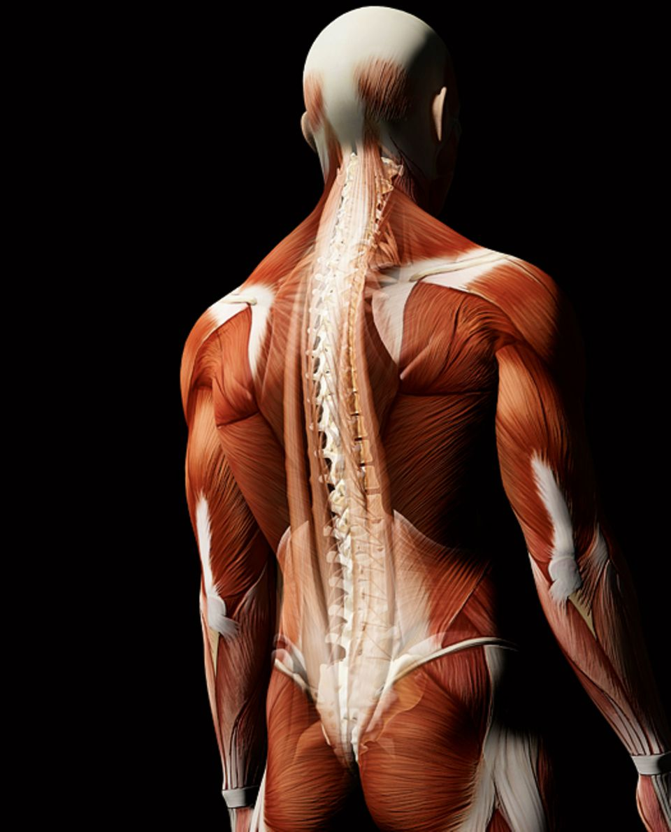 Wirbelsäule: Zwei Dutzend bewegliche Wirbel, 23 Bandscheiben und zahlreiche Bänder: Die in die Muskulatur eingebettete Wirbelsäule ist die perfekte Stütze für den menschlichen Körper