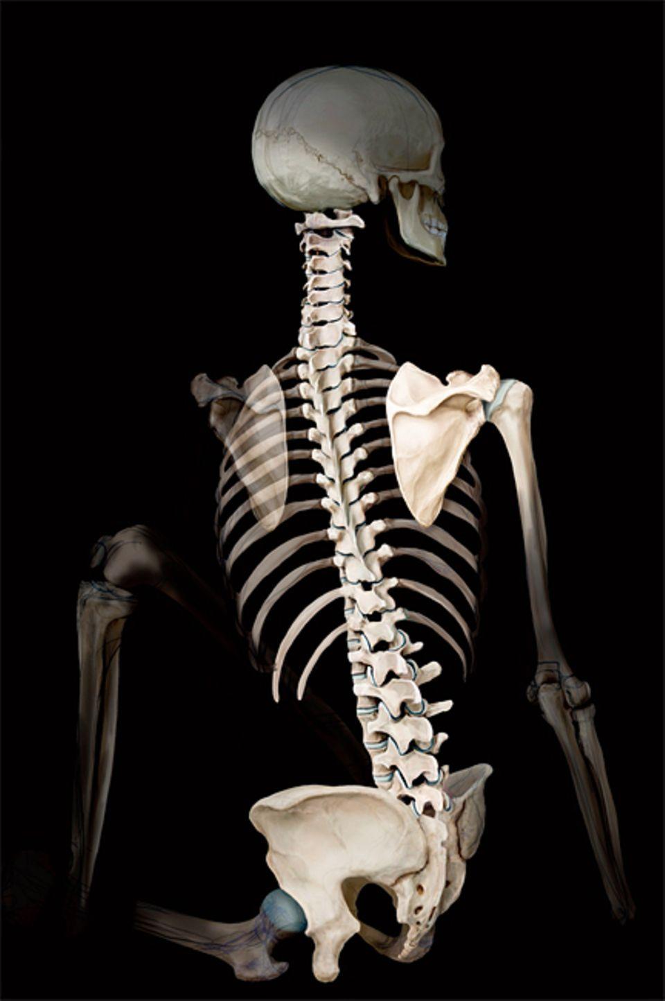 Wirbelsäule: Als tragende Zentralachse des Körpers verbindet die Wirbelsäule große Teile des Skeletts miteinander: Sie gibt nicht nur dem Kopf, sondern auch den Rippen und dem Becken Halt