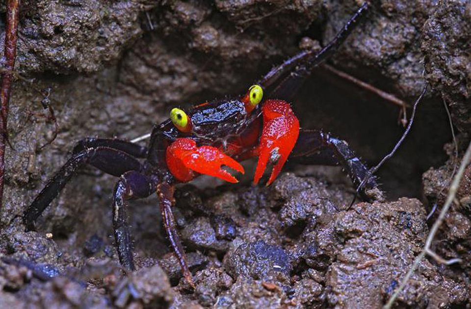 Zoologie: Geosesarma hagen hat leuchtend rote Scheren und gelbe Augen - Merkmale, die der Krabbe helfen, mit Artgenossen zu kommunizieren