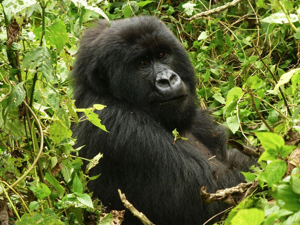 Demokratische Republik Kongo: Im Süden von Virunga stehen Berggorillas wie dieser im Gebiet Mikeno im Zentrum der Schutzbemühungen des Nationalparks