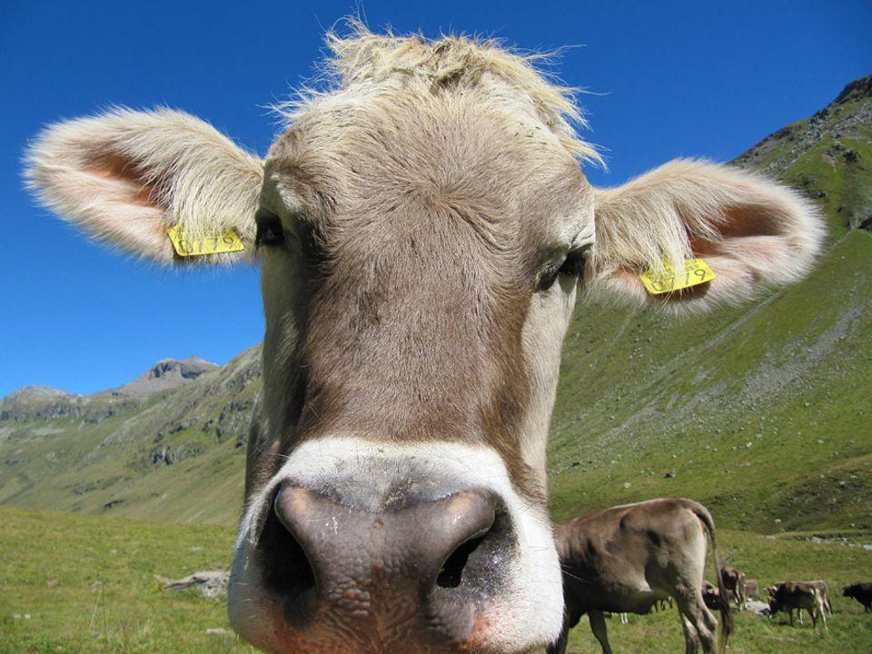 Auszeit: Der Begriff der dummen Kuh ist fehl am Platz, sagt Uwe Fitzek - der Almhirte auf Zeit weiß das genau