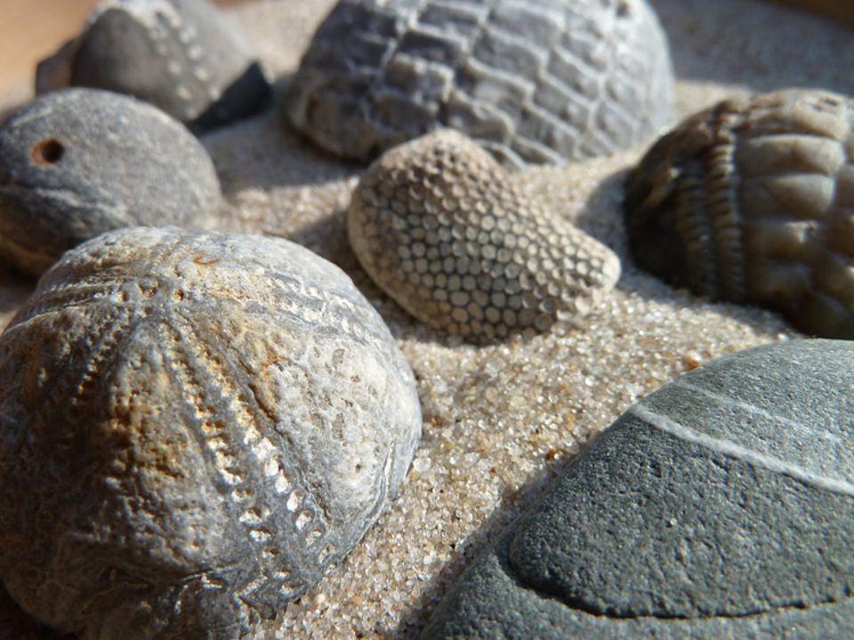 Buchtipp: Die versteinerten Seeigel, die man heute an unseren Küsten finden kann, sind rund 70 Millionen Jahre alt